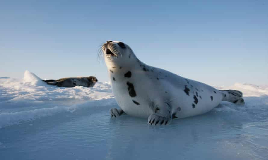 Anti-seal hunting campaigns have had a dramatic financial impact on traditional Inuit hunters in Canada.