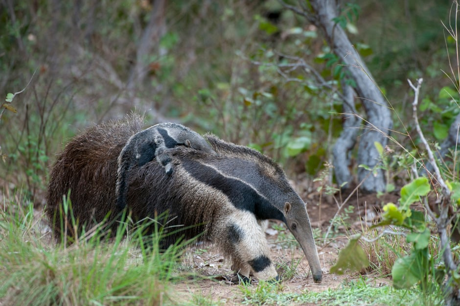 A giant anteater carrying her baby on her back. The species is listed as vulnerable to extinction and its long reproductive cycle makes it harder to recover from population decline. Photograph: Wolfgang Kaehler/LightRocket/Getty Images