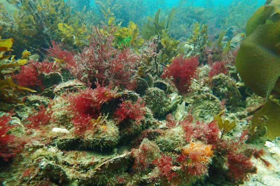 A healthy native oyster reef