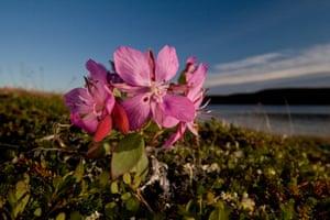 A dwarf firewee flower
