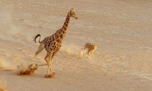 Planet Earth II - giraffe