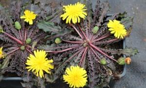Taraxacum rubifolium.