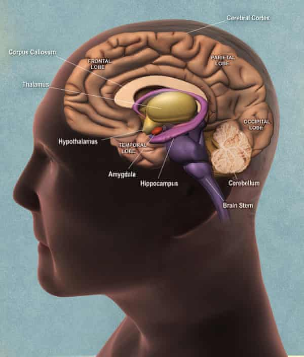 Areas of the brain, including the hippocampus.