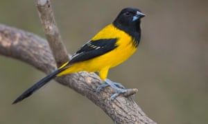 Audubon's oriole perched on a branch in the Rio Grande Valley in Texas.