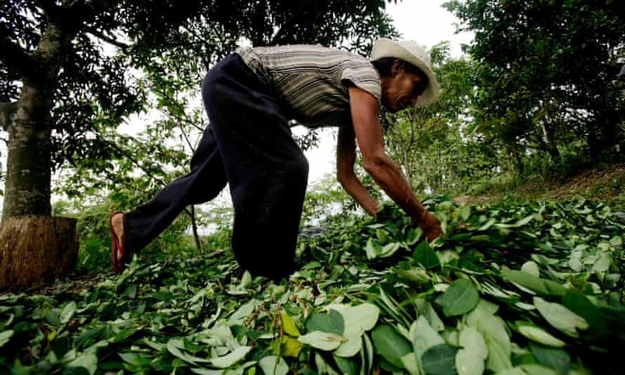 A woman lays out coca leaves to dry in San Francisco, a town in Peru's Ayacucho region.