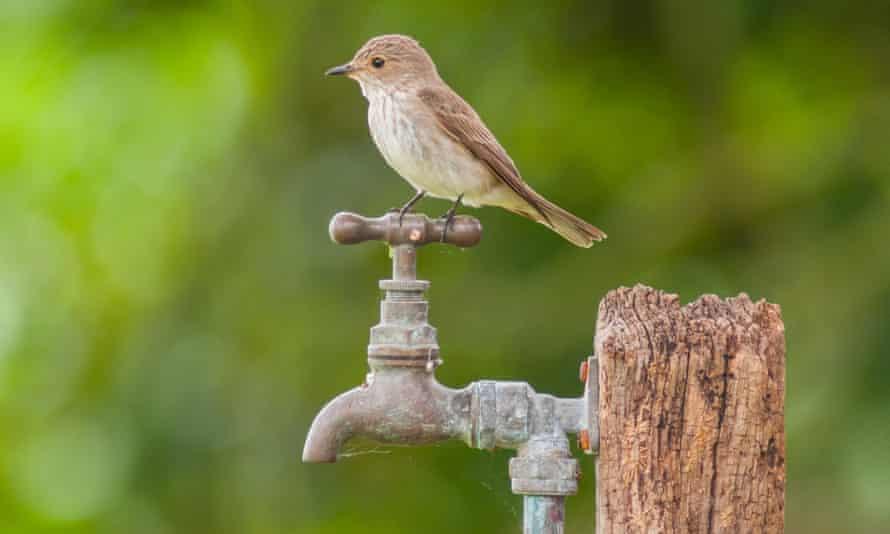A spotted flycatcher