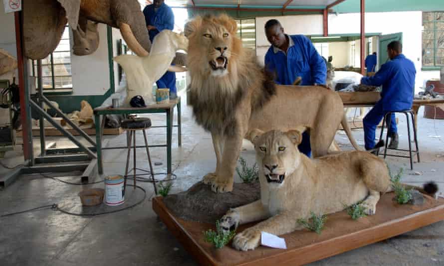 Taxidermist brushes the mane of a stuffed lion at a taxidermist workshop, near Johannesburg, South Africa