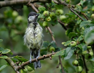 A great tit fledgling sitting in a tree after bathing in Hedge End, Southampton.