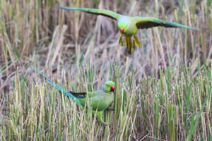 Two rose-ringed parakeets (Psittacula krameri), also known as ring-necked parakeets, search for food on a paddy field in the suburbs of Colombo, Sri Lanka.