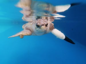 Phuket, Thailand A turtle tests a prosthetic flipper to treat injuries caused by fishing gear