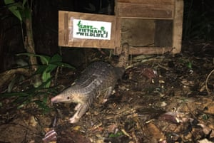 A pangolin is released back into the jungle as part of a conservation program in Cuc Phuong national park Ninh Binh, Vietnam