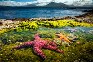 ochre sea stars in a rockpool on vancouver island in british columbia