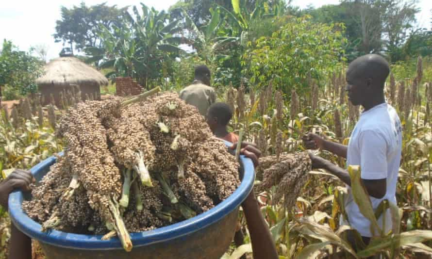 The Uganda Community Farm (UCF) grows various crops on 12 acres in Namisita, a village in a remote part of Kamuli, eastern Uganda.