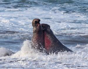 Elephant seals battle in the ocean off the Piedras Blancas Light Station, a historic landmark on the Californian coastline