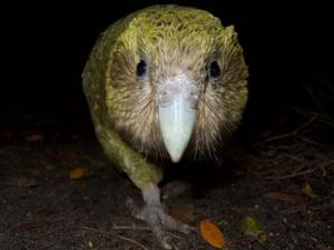 The world's fattest parrot, the endangered kākāpō