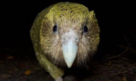 Track a kākāpō? New Zealand's precious parrot under drone eye