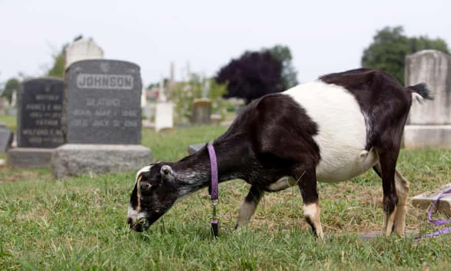 A herd of goats was brought in to the Congressional Cemetery in Washington DC, not for wildfire management, but to help remove invasive species.