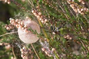 A female wasp spider guards her egg sac at Fleet Pond nature reserve, Fleet, Hampshire, UK
