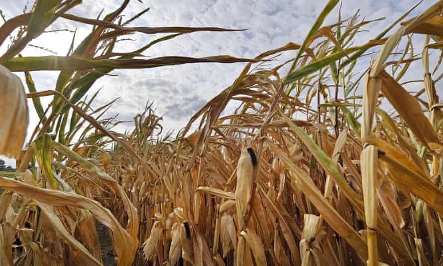 A dry cornfield