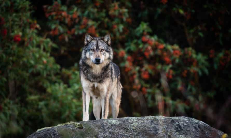 Takaya on Vancouver Island, British Columbia, Canada. The story of the lone wolf shot by a hunter captivated people across the world.