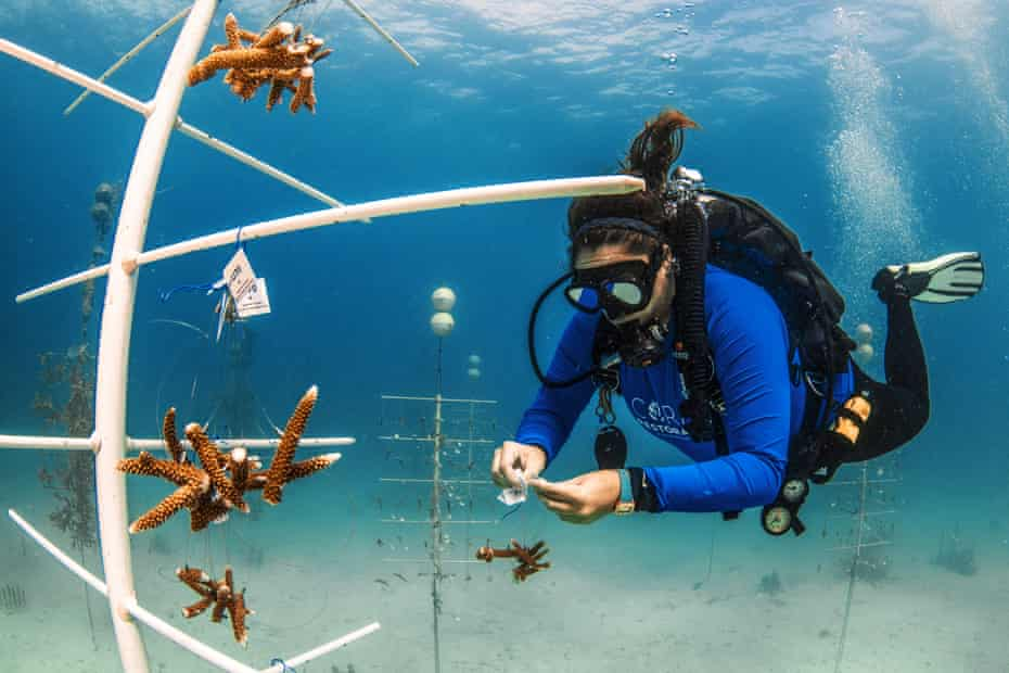 Jessica Levy hangs coral fragments on trees at the Tavernier nursery