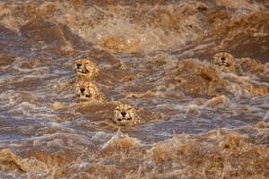 Three cheetahs stick their heads above the muddy water and strong waves in Masai Mara, Kenya