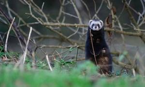 A polecat hunts along the hedgerow