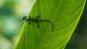 I was lucky to spot this day gecko pausing on a leaf while I was in Mahé in the Seychelles. The sunlight clearly defines the iconic shape of the feet through the surface.