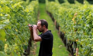 Richard Lewis, vineyard manager at Chapel Down, uses a refractometer to measure the sugar levels of grapes before their harvest.