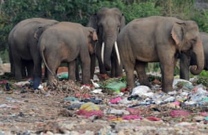 Wild elephants, including a tusker (centre), rummage through rubbish dumped in the village of Digampathana in north-central Sri Lanka