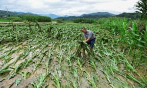A villager lifts up fallen corn plants after a flood at a farm in Jianhe county, Guizhou province, China in July 2017.