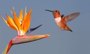 Male rufous hummingbird flies to flower