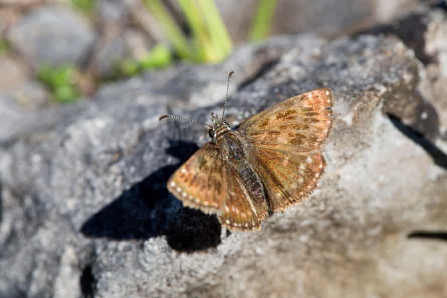 The dingy skipper butterfly thrives in unlovely places.