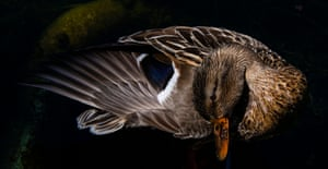 A duck twists its neck as it cleans itself in the sun in a pond in Berlin