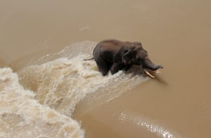 A wild elephant is seen in floodwater as it tries to cross the Mundali barrage in Mahanadi river in India.