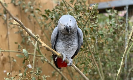 One of the foul-mouthed five African grey parrots at the Lincolnshire zoo.