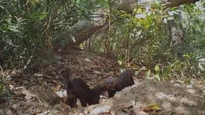 A pair of tayra – metre-long relatives of the weasel – find 'Hotel Armadillo' the perfect place for courtship and mating.