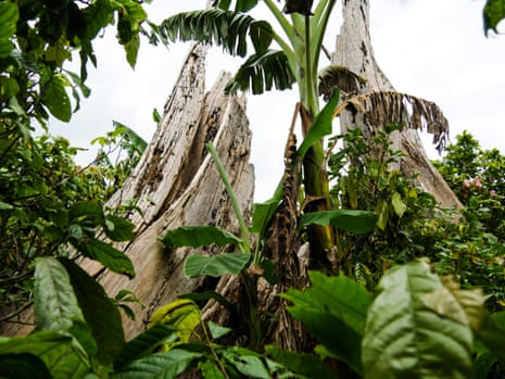 The crags of an ancient tree at Mont Tia forest reserve in Ivory Coast