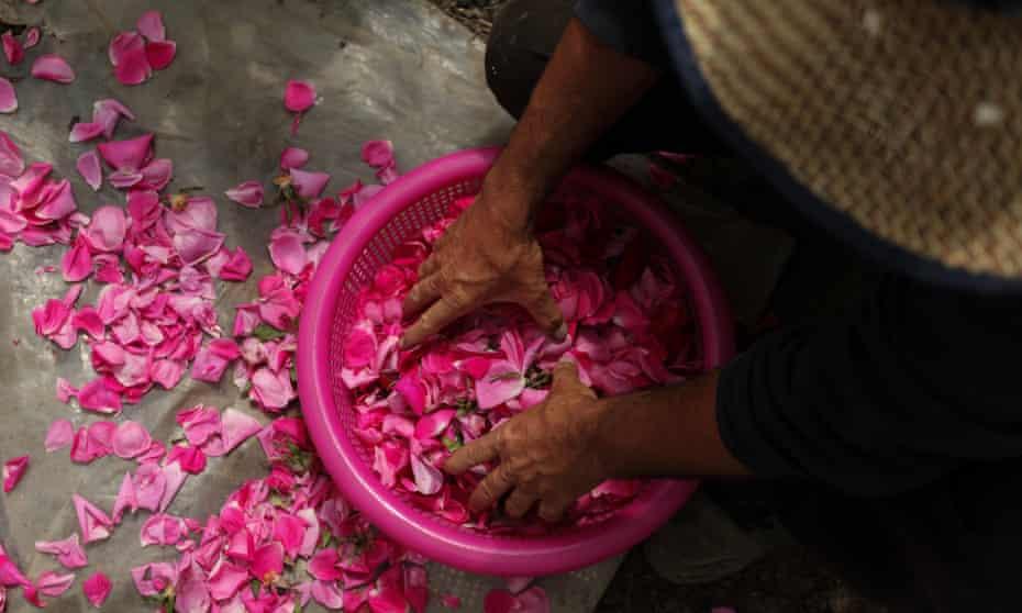 Salem al-Zarda scatters rose petals out of a basket