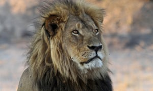 Cecil the lion in November 2013 in Hwange national park, Zimbabwe