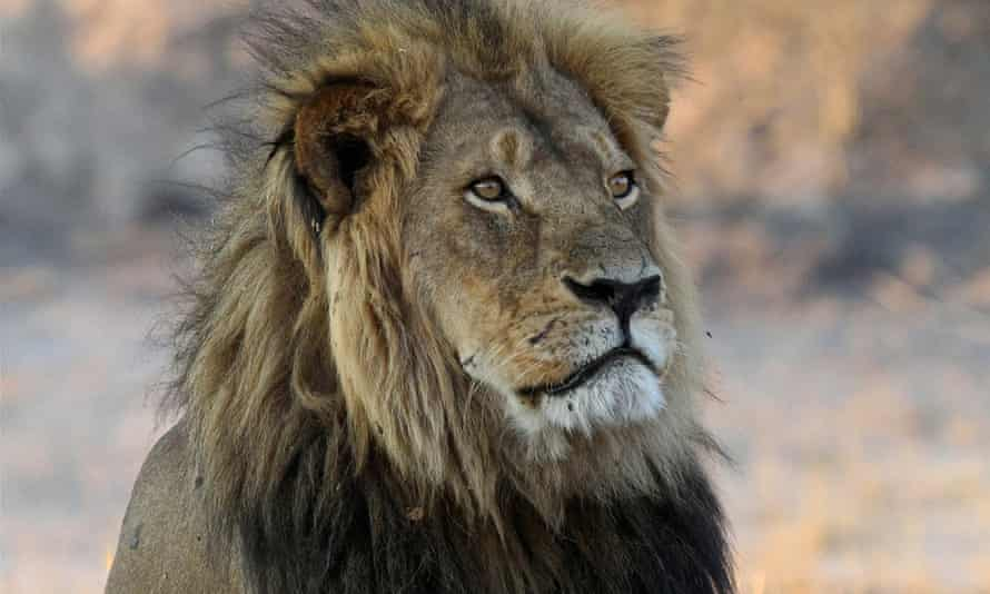 Cecil in 2013 in Hwange National Park, Zimbabwe. Wealthy Americans who hunt abroad say their very presence deters poachers, and their fees keep habitat from being converted to other uses.