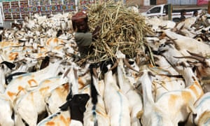 Sanaa, YemenA Yemeni farmer feeds a herd of goats in the cattle market ahead of celebrations of the Eid-al-Adha