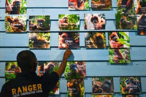 A forest ranger shows photos of wild Sumatran orangutans recorded in the Leuser ecosystem in Aceh, Indonesia