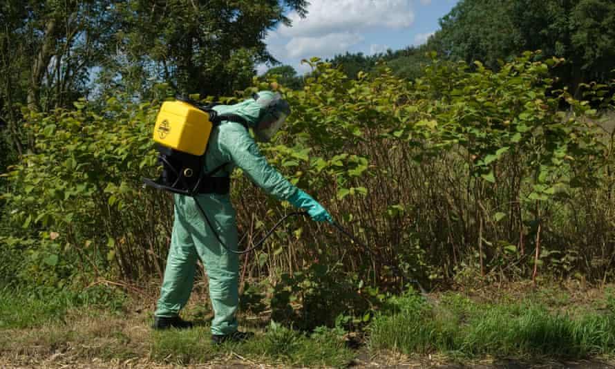 Spraying invasive Japanese knotweed in Suffolk, UK.