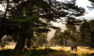 Scots pines in Glenfeshie, in the Scottish Cairngorms