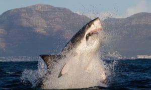 A great white shark hunting for seal off Simon's Town, just south of Cape Town.