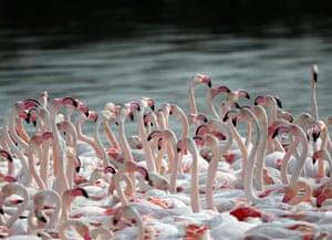 Pink flamingos are seen at the Ras al-Khor Wildlife Sanctuary on the outskirts of Dubai