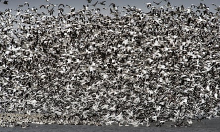 Witnesses said the pit in Montana looked like '700 acres of white birds'.