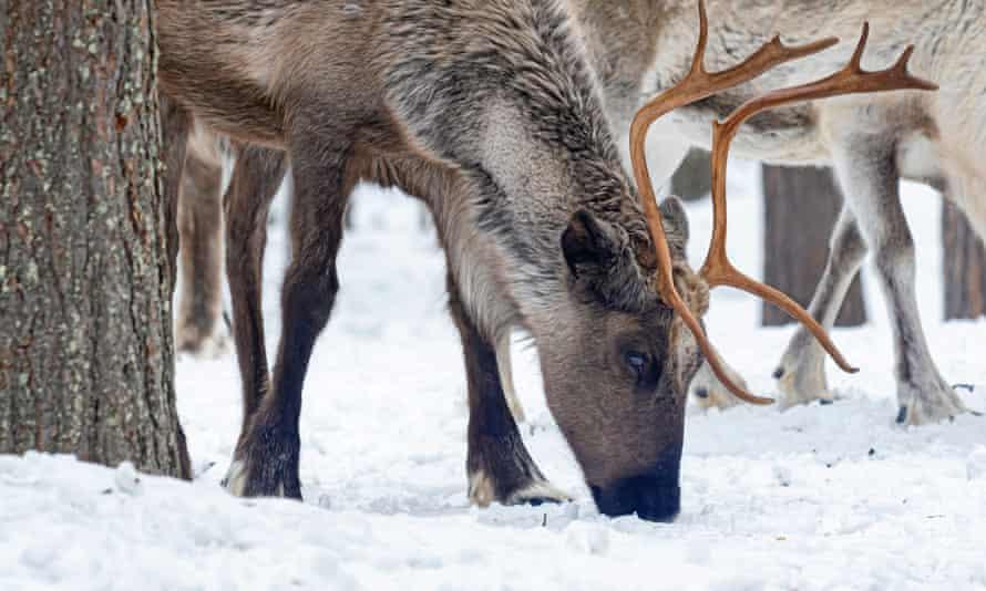 Herding reindeer in Parki hydroelectric reservoir, Jokkmokk, Sweden.