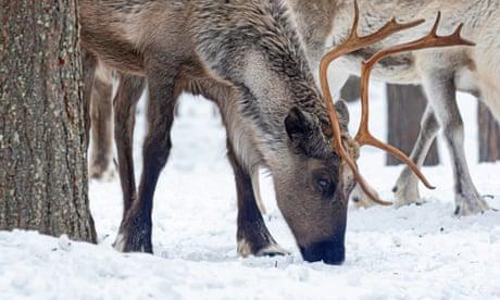 Sweden to build reindeer bridges over roads and railways